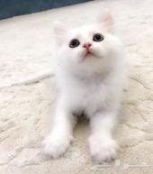 قط شيرازي صغير أبيض