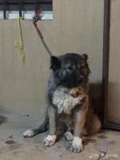 للبيع كلاب جرو من نوع بلاك جاك وبلاك كوت