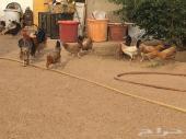 للبيع دجاج بلدي بياض العدد 20 حبة تقريبا
