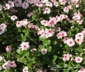 زهور بفتة