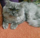 قط شيرازي للتزاوج