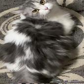 قطه انثى حامل