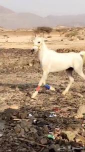 حصان عربي للبيع