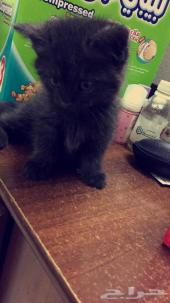 قطه كيتن شيرازي