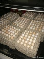 للبيع بيض دجاج بلدي مخصب