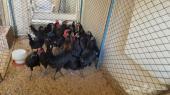 دجاج بلدي أصلي  اسود كامل ( تم البيع  )
