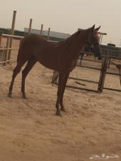 حصان عربي واهو شيخ بين الخيل و كفو