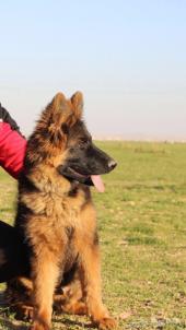 كلب جيرمن بيور مستورد من بولندا للبيع