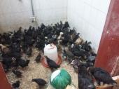 للبيع دجاج بلدي وعربي اسود صك 95 في الميه