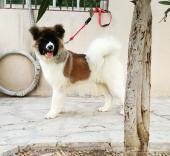 للبيع كلب امريكان اكيتاAmerican akitaبالرياض