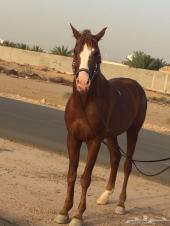 حصان شعبي هادي