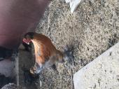 دجاج براهمه نظيف
