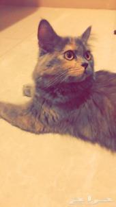 قطه شيرازيه مون فيس للبيع بكامل اغراضها