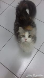 قطة شيرازي للبيع مع صغارها