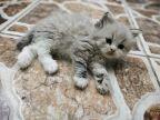 قط راغدول للبيع