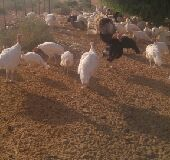 دجاج رومي بشاير وبياض