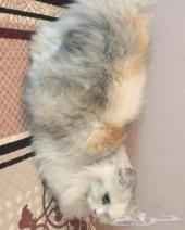 للبيع قطة منتجة شيرازي بيور