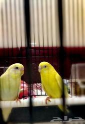 زوج عصافير بادجي او طيور حب