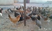 150 جوز دجاج عمر ثلاث شهور