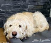 حيوان أليف للبيع كلب مالطي مدرب  pet for sale