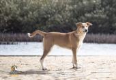 للبيع كلب لوقي متدرب على الحراسة المواشي