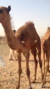 3 حشوان سمان  للبيع الرياض