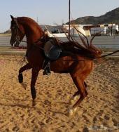 حصان عربي واهو ( مكس )