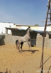 للبيع حصان مصري دم فاخر جدا