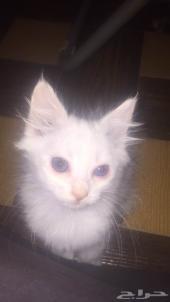 للبيع قطط شيرازية صغيرة تواها بادية تاكل