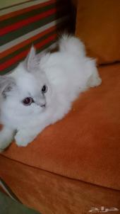 قطط شيرازي للبيع في الرياض