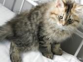 قطط شيرازيه للبيع بالرياض