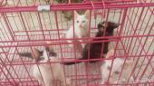 قطط شيرازيه للبيع في الرياض