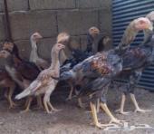 دجاج باكستانيات بشاير للبيع بحايل