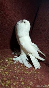 ذكر نفاخ بومريان أبيض صك مستوى حلو وقوي
