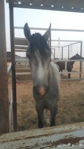 حصان عربي شعبي شيخ يصلح للتعليم للبيع