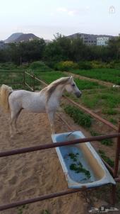 حصان عربي بوراق