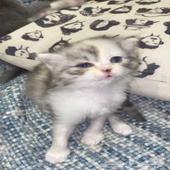 قطط صغيرة (كيتنز) للبيع