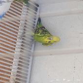 بادجي طيور الحب للبيع اناث