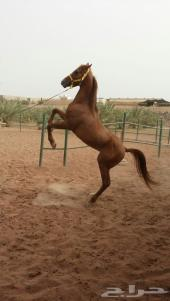 حصان عربي اصيل خط سرعة وجمال
