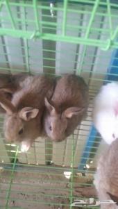 ارانب صغيره للبيع شانشيلا وفرنسي