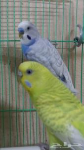 جوز طيور حب للبيع