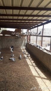حمام زينه منتج للبيع