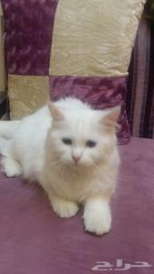 قطه النوع شيرازي تركي