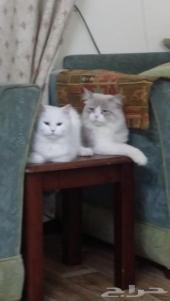 للبيع قطة شيرازية وقط فيس عدد 2 ذكر وأنثى