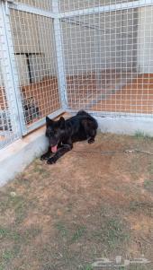 ذئب أوروبي للبيع