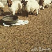 ذبائح للبيع في الرياض مع خدمة الذبح والتوصيل مجاني