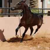 حصان واهو للبيع بسكاكا
