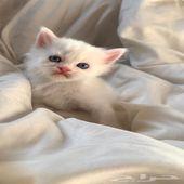 كيتن قطط صغيرة للبيع