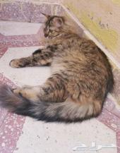 للبيع قطة شيرازي ب 400