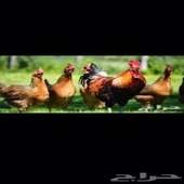 مطلوب دجاج بلدي حضان